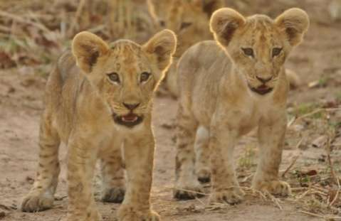 Lion cubs - South Luangwa