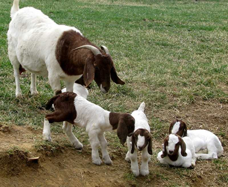 Govt. procures 250 boer breeding goats from Namibia ... - photo#25