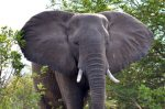 elephant in the Lower Zambezi National Park.jpg